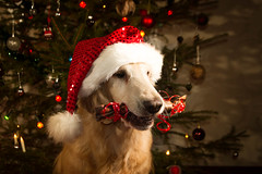 Luka's Christmas memories (raminm) Tags: dog retriever flatcoat meidan meidansecondblondeluka