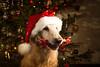 Luka's Christmas memories (raminm) Tags: dog retriever flatcoat meidan meidansecondblondeluka