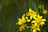 DSC_0552  (Ibrahim Hamaty) Tags: ورد الصيف روعة منظر السعودية طبيعة المملكة رائعة d3200 اصفر ابها زهور جيزان محترف السودة عزل منظرطبيعي التصويرالاحترافي المصورينالسعوديين