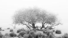 Solitaire trees in a misty morning Mepper hooilanden (Kees Waterlander) Tags: winter bw netherlands landscape zwartwit nederland drenthe landschap meppen diversedrenthe
