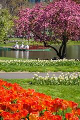 Spring in Boston (marypink) Tags: trees usa lake primavera boston america garden spring tulips massachusetts swanboats bostonpublicgarden 70300mmf456 tulipani publicpark nikond7200