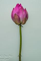Young Pink Lotus (madi_patub) Tags: macro indonesia lotus macros tamron bogor teratai indianlotus bestmacro inexplore macrophotografi tamron150600