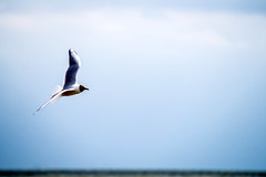 DSC07086 (fidel_barto) Tags: bird germany landscape deutschland outdoor sony balticsea landschaft ostsee usedom sonyalphaslta58