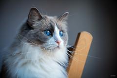 My Queen [Explored] (Marta & Eduardo) Tags: portrait pet animal azul cat eyes retrato fluffy gato ragdoll catlovers