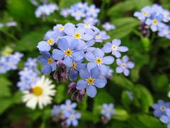 forget me not (germancute) Tags: flower green nature grn blume wildflower vergissmeinnicht
