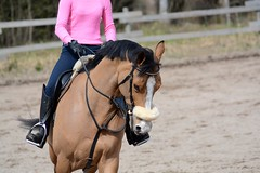 Clever (Essi J.) Tags: horse mare riding belgian clever bridle warmblood equestrianism
