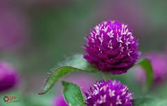 Globe Amaranth (SPP- Photography) Tags: morning flowers como flower macro nature canon morninglight petals purple blossom blossoms 100mm blooms heliotrope blooming 6d flowersplants globeamaranth macro100mm marjoriemcneelyconservatory canon6d