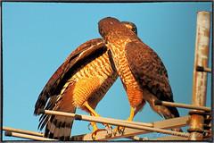 IMG_3759_edit (cnajhar) Tags: birds aves falcon predator falco predador