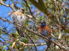 Pair of Western Bluebirds in a Tree (donjd2) Tags: california us unitedstates sanjose westernbluebird santateresacountypark