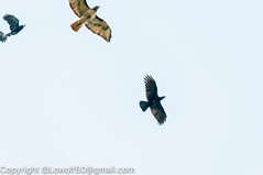 RedTailHawk battle 1_DSC5599.jpg (orig_lowolf) Tags: usa home oregon nikon flickr flight crow attacking redtailedhawk lakeoswego d300s sigma150500mmf563afapodgoshsmtelephotozoom
