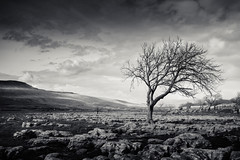 Yorkshire Dales,  Limestone Pavement 23/04/2016 (Matthew Dartford) Tags: blackandwhite bw tree monochrome backlight mono bokeh yorkshire delete crack lone yorkshiredales happisburgh limestonepavement