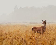 Unique in All the World (Ida H) Tags: park morning autumn wild mist cold nature beauty grass animal misty fog closeup landscape early alone space wildlife foggy peaceful calm richmond deer openspace autumnal atmospheric richmondpark deerpark