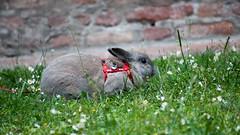 DSC_0068 1 (divi333) Tags: rabbit bunny ferrara coniglio 2016 conigliando