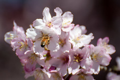 Bzzz (Joanne Levesque) Tags: flowers nature closeup fleurs insect spring bee cherryblossoms printemps cherrytree abeille insecte cerisier jardinbotaniquedemontral nikond90 nikkor70300mmvr montrealsbotanicalgarden