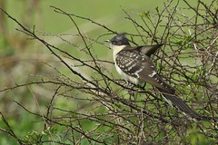 Great Spotted Cuckoo (Ady G.) Tags: bird canon wildlife dorset cuckoo 1d4 greatspottedcuckoo 500f4