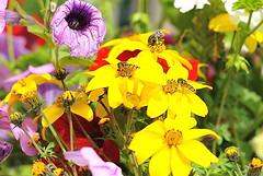 it's time to eat (Sentieri) Tags: flowers plants plant flower primavera spider sting violet bee giallo ape hornet fiori piante viola api margherita violetta polline