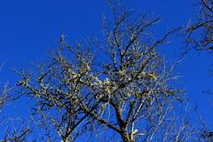 (Jelena1) Tags: sky naturaleza plant tree nature canon plante ast branch tara serbia natur pflanzen himmel bluesky ciel cielo rbol arbre priroda baum rama trd treebranch branche srbija nebo grana gren drvo vxt biljka taramountain zaovine trdgren canonefs1855mmf3556is canon600d canoneos600d