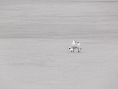 Two Seagulls (Orjatar) Tags: lake cold ice finland seagull vesijrvi