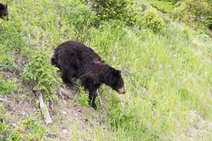 Mamma Bear (Anne Oldfield) Tags: yellowstone mummy