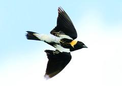 bobolink male at Chipera Prairie IA 854A7252 (lreis_naturalist) Tags: county male reis iowa larry prairie bobolink winneshiek chipera