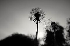 (L D Middleton) Tags: ldmiddleton fujifilmx100t fuji fujifilm x100t ashtonunderlyne daisynook dandelion dandelions flower sunny sky wishes