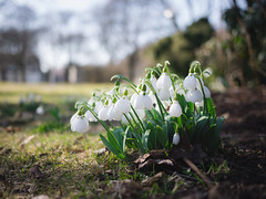Snow drops (patricho) Tags: plant flower nature sweden outdoor snowdrops varberg