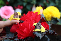 Miniature Lions (Gen Hagiwara) (OrigamiSunshine) Tags: flower nature animal paper outdoors miniature origami lion begonia lions fold gen paperfolding hagiwara origamisunshine