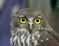 barking owl (kampang) Tags: barkingowl ninoxconnivens