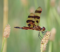 Halloween Pennant (carolesong) Tags: male hamburgpa halloweenpennant kaerchercreek celithemiseponina15inches