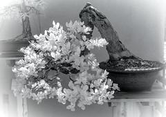 DSC_3936s (An Xiao) Tags: arboretum bonsai penjing