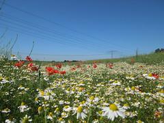 Blumenweise (conticium) Tags: juni brandenburg 2016 klatschmohn margeriten