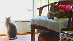 Millie and Gracie 8 June 2016 9451Ri 9x16 (edgarandron - Busy!) Tags: cats cute cat gracie feline tabby kitty kitties tabbies millie graytabby patchedtabby