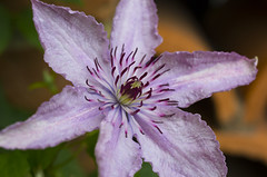 Lavender Clematis (s.d.sea) Tags: flowers summer chicago flower color macro nature floral gardens 35mm garden botanical illinois spring midwest purple pentax clematis lavender northshore glencoe botanic enjoyillinois k5iis