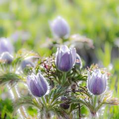 Pulsatilla (hjuengst) Tags: alps flower macro closeup purple violet mauve alpen blume makro pasqueflower violett pulsatilla kuhschelle kchenschelle
