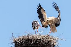 Storch (thomaskappel) Tags: storch