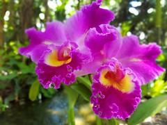 Pink Cattleya (Helen) Tags: pink orchid flower garden orchids florida miami orchidaceae orqudea fairchildtropicalbotanicgarden samsunggalaxys7edge samsungsmg935a
