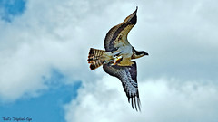 OSPREY with Fish (Bob's Digital Eye) Tags: bird nature animal fauna canon inflight flickr outdoor wildlife hunting osprey birdsofprey flicker t3i wildbirds wildbird canonefs55250mmf456isstm bobsdigitaleye