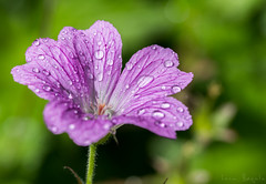 After the rain (i.begala) Tags: flowers macro nature beautiful petals focus colorful dof natural bokeh handheld shallow manual