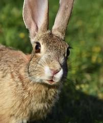 Mr. Rabbit (Kerstin Winters Photography) Tags: rabbit bunny nature animal nikon colorado flickr outdoor nikondsl d7200