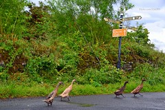 (Zak355) Tags: birds scotland wildlife ducks scottish bute rothesay isleofbute straad