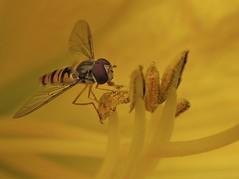 Zweefvlieg* (_BieFeen) Tags: flower macro nature closeup canon insect zweefvlieg sx60hs