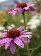 Summer Blooms (AJ.Culler) Tags: flower macro landscape photo close purple