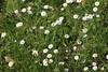 Bois de Vincennes, Paris (MadÂme Rêve) Tags: vincennes bois wood foret forest pomme pin paquerette flower yellow pissenlit insecte nature violette campanule papillon butterfly