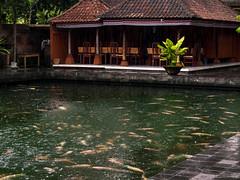 Pool of Koi (aushiker) Tags: bali fish nature puratirtaempul religion tirtaempultemple