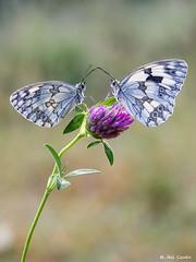 rueda fortuna (gatomotero) Tags: trifolium melanargia nature macrofield mzuiko60 olympusomdem1 mariposas pareja bokeh ambiente macrofotografia naturaleza butterfly contraluz