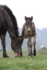 Brinn and Bna (Tisaenekar) Tags: red horse nature animal fauna landscape iceland equine foal icelandichorse