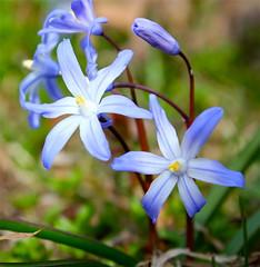"Chinodoxa luciliae ""Lucilles Glory of the Snow"" (pamela_alvarez4) Tags: flowers snow beauty up spring peace close gardening glory bulbs botany nybg chinodoxa asparagaceae"
