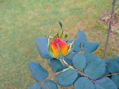 new one (Rodrigo Ribeiro) Tags: rose rosa red vermelha garden gardening jardim jardinagem flor flores flower