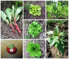 2009 Garden, June 20 (genesee_metcalfs) Tags: collage vegetable garden radish lettuce strawberries tomato pepper spring june michigan