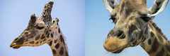 as prehistoric as funny (seil6fosse9) Tags: prehistoric funny giraffa giraffe faces expressions eyes skin texture sky profile